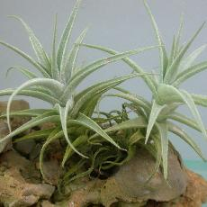 Tillandsia purpurea