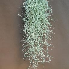 Tillandsia usneoides  'Minor'