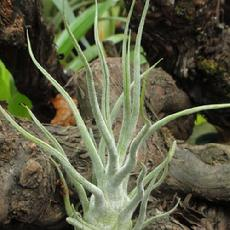 Tillandsia pruinosa ' Large form'
