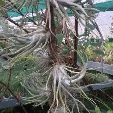 Tillandsia elhersiana