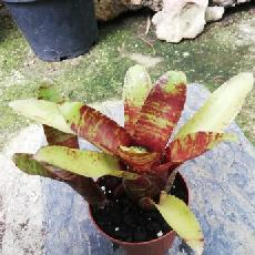 Neoregelia 'Brownie'
